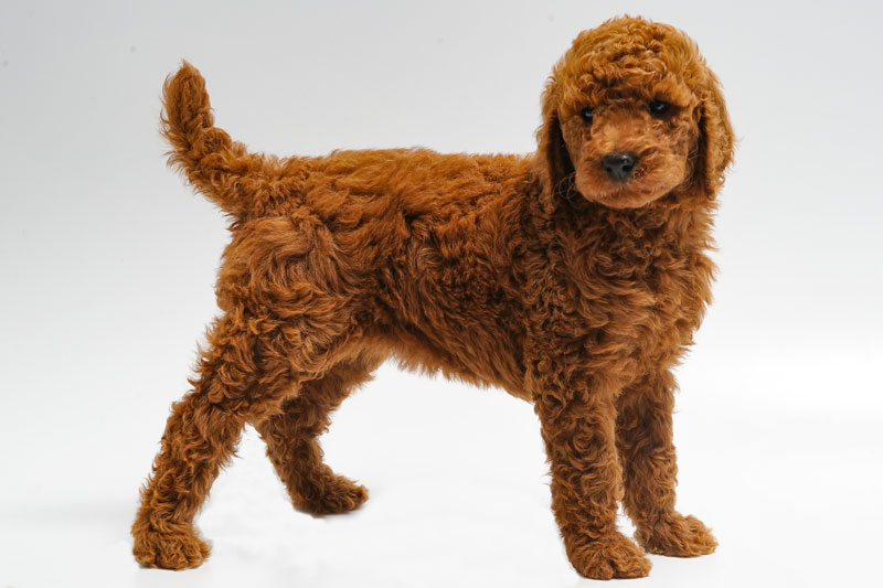 Red Standarde Poodle Puppy