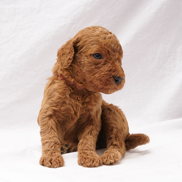 Puppy 1- Brown Collar