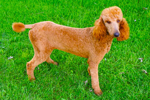 Heavenly Zandra-Zandra Red Standard Poodle