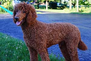 HEAVENLY ROSCOE Red Standard Poodle